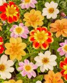 Dahlia kleurrijke mix