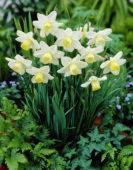 Narcissus Greenlet