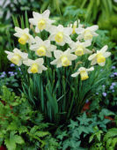Narcissus Greenlet