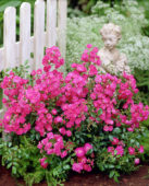 Rosa Lovely Fairy red