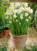 Narcissus Perky