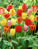 Tulipa Darwin Hybrids mixed