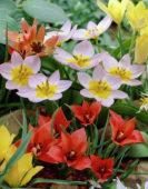 Tulipa Miscellaneous collection