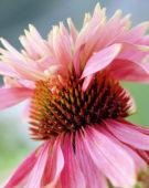 Echinacea purpurea Indiaca