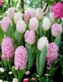 Hyacinthus, Tulipa pink