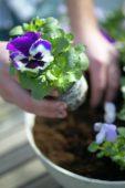 Planting violets