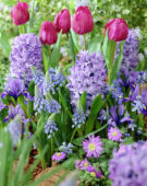 Hyacinthus, Tulipa, Muscari, Iris