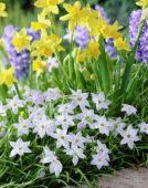 Ipheion uniflorum Wisley Blue, Narcissus, Hyacinthus
