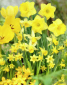 Narcissus Yellow Mixed