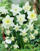 Narcissus White Mixed