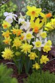 Narcissus Miniature mixed