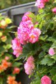 Begonia Picotee pink
