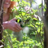 Woman pruning shrub