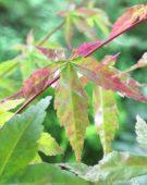 Acer palmatum Benni Maiko