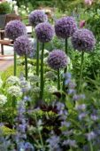 Allium Round 'n Purple