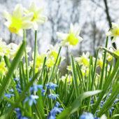 Chionodoxa, Narcissus Jack Snipe