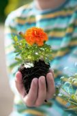 Tagetes in hand