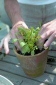 Planting rocket seedlings