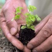 Parsley seedling in hands