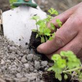 Planting parsley seedlings