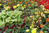 Hosta, Ranunculus asiaticus, Viola