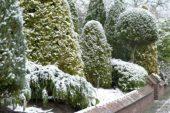 Conifers in winter garden