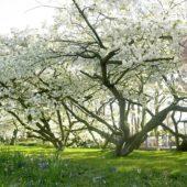 Prunus double white