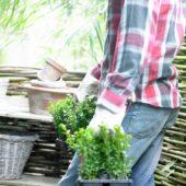 Carrying buxus plants