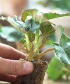Begonia plug