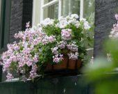 Pelargonium in window box