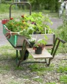 Wheelbarrow with summer annuals for sale