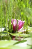 Nymphaea pink