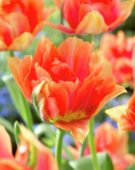 Tulipa Willem van Oranje
