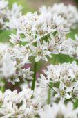 Allium ramosum