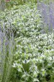 Eryngium giganteum Silver Ghost, Perovskia atriplicifolia