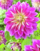 Dahlia Purple Explosion