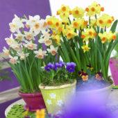 Narcissus Bittern, Katie Heath ®
