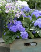 Ageratum houstonianum High Tide Blue