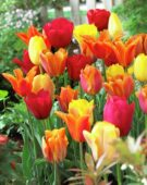 Tulipa orange mix