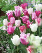 Tulipa pink mix