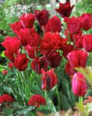 Tulipa red mix