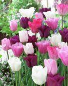 Tulipa mix pink-purple