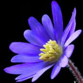 Beautiful Black serie: Anemone blanda Blue Shades