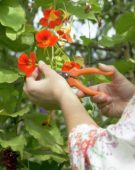 Hands cutting nasturtium flowers