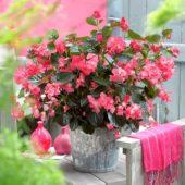 Begonia rose dark foliage