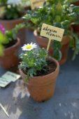 Labelled Chrysanthemum plant