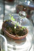 Seedlings under bell cloche