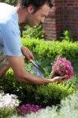 Man planting moss phlox