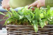 Planting ferns in basket