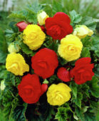 Begonia Double red + yellow mixed